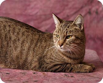 Domestic Shorthair Cat for adoption in Harrisonburg, Virginia - Axyl