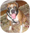 Boxer Mix Dog for adoption in Sunderland, Massachusetts - ROCK