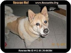 Akita Dog for adoption in Medford, Massachusetts - Tia