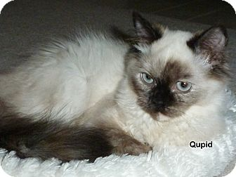 Himalayan Kitten for adoption in Portland, Oregon - Qupid