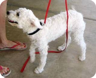 Miniature Poodle Mix Dog for adoption in Phoenix, Arizona - Fifi