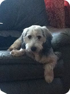 """Schnauzer (Miniature)/Terrier (Unknown Type, Small) Mix Dog for adoption in Plainfield, Connecticut - Benton 'Benny"""""""