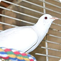 Adopt A Pet :: Sweetie and Mr. Ed doves - Indian Trail, NC