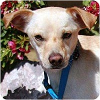 Adopt A Pet :: Blue- Two - Gilbert, AZ