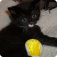 Adopt A Pet :: Black & White Kittens - Acme, PA