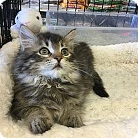 Adopt A Pet :: Kelly - Gilbert, AZ