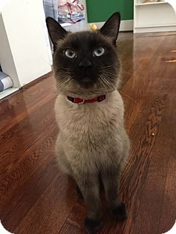 Siamese Cats For Adoption Los Angeles