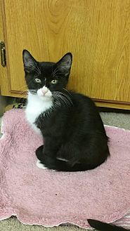 American Shorthair Cat for adoption in Nuevo, California - Roxy