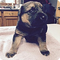 Adopt A Pet :: Nina - Little Rock, AR