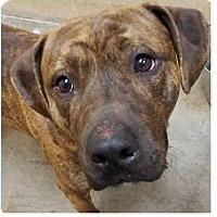 Adopt A Pet :: Zeus - Springdale, AR