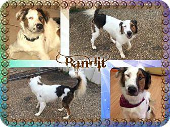 Australian Shepherd Mix Dog for adoption in Longview, Texas - Bandit