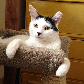 Domestic Shorthair Cat for adoption in Lombard, Illinois - Pinto