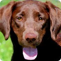 Adopt A Pet :: ROSIE(GORGEOUS PB LAB-PLS READ - Wakefield, RI