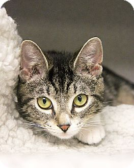 Domestic Shorthair Kitten for adoption in New Rochelle Humane, New York - Mally