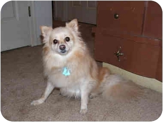 Pomeranian Dog for adoption in Chesapeake, Virginia - Peaches