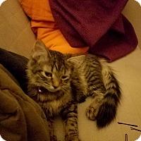 Domestic Mediumhair Cat for adoption in Cicero, Illinois - Mya L.