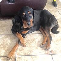 Rottweiler/Schnauzer (Standard) Mix Dog for adoption in Scottsdale, Arizona - Harvey