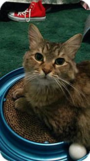 Maine Coon Cat for adoption in Tampa, Florida - Nutmeg