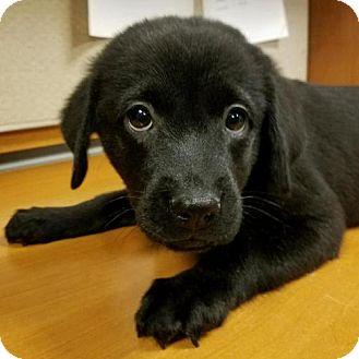 Labrador Retriever Mix Puppy for adoption in Arlington, Virginia - Serena