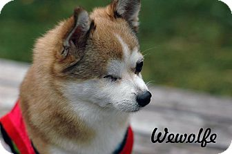 Chihuahua Mix Dog for adoption in Barriere, British Columbia - Wewolfe