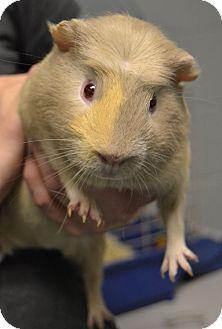 Guinea Pig for adoption in Michigan City, Indiana - Ziggy