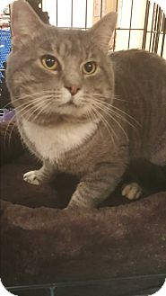 Domestic Shorthair Cat for adoption in Griffin, Georgia - Peter
