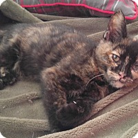 Adopt A Pet :: Vixen - Manchester, CT
