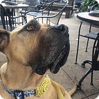 Mastiff Dog for adoption in Norwood, Georgia - Bella