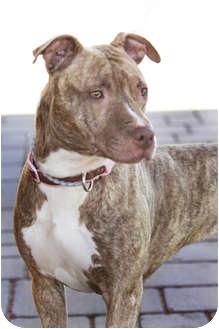 American Pit Bull Terrier Mix Dog for adoption in phoenix, Arizona - Sahara