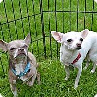 Adopt A Pet :: Taz - Chagrin Falls, OH