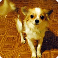 Adopt A Pet :: Sammy - Chandler, AZ