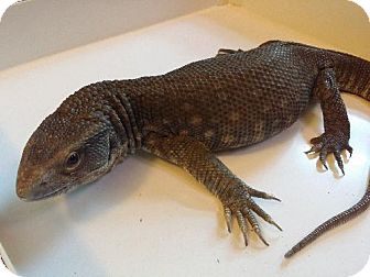 Lizard for adoption in Lake Forest, California - Savannah Monitor