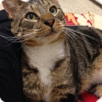 Domestic Shorthair Cat for adoption in Templeton, Massachusetts - Stan