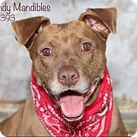 Adopt A Pet :: Mandy - Troy, MI