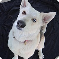 Shepherd (Unknown Type)/Husky Mix Dog for adoption in Seal Beach, California - Buster