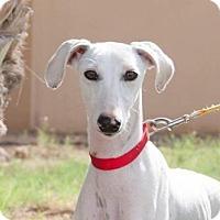 Adopt A Pet :: Myrtle - Bellingham, WA