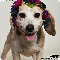 Adopt A Pet :: Gracie Mae (Foster) - Baton Rouge, LA