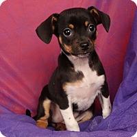 Adopt A Pet :: Gina Rat Terrier - St. Louis, MO
