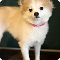 Adopt A Pet :: Porche - Waldorf, MD