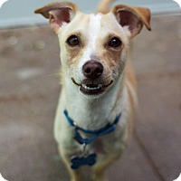 Adopt A Pet :: Little Man - Los Angeles, CA