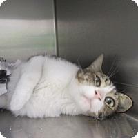 Adopt A Pet :: Simone - North Richland Hills, TX