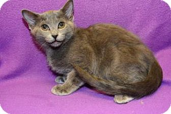 Russian Blue Cat for adoption in Suwanee, Georgia - Linus