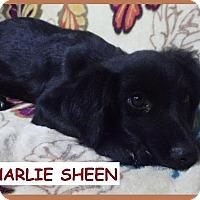Adopt A Pet :: Charlie Sheen - Batesville, AR