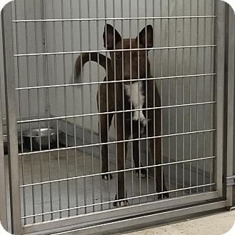 Australian Terrier Mix Dog for adoption in Humble, Texas - Heidi