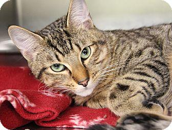 Domestic Shorthair Cat for adoption in Marietta, Ohio - Tucker (Neutered)