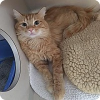 Domestic Longhair Cat for adoption in Denver, Colorado - Nemo
