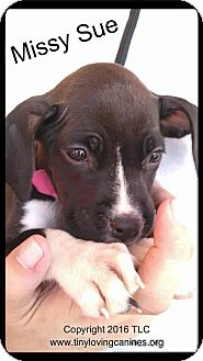 Labrador Retriever/Pit Bull Terrier Mix Puppy for adoption in Simi Valley, California - MissySue