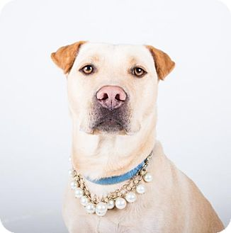 Labrador Retriever/Shar Pei Mix Dog for adoption in Atlanta, Georgia - Lucy A-LAP