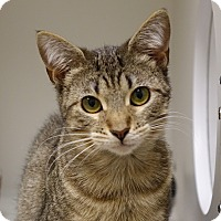 Domestic Shorthair Kitten for adoption in Columbia, Illinois - Laverne