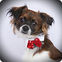 Adopt A Pet :: Buddy - Carrollton, TX